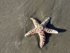 long-beach-starfish